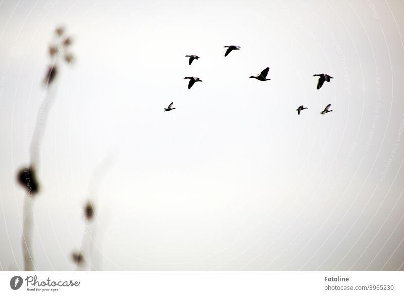 5 nach links, 3 nach rechts. Was für ein Durcheinander am Himmel. Ein Gänseschwarm fliegt vor dem grauen Winterhimmel umher. Im Vordergrund zwei Stängel Gestrüpp.