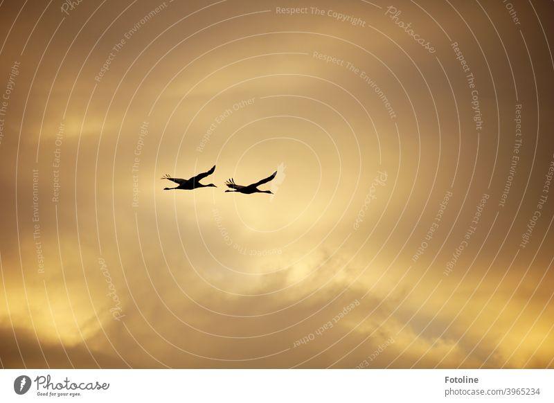 Kranichflug vor einem wolkigen, orangefarbenen Himmel. Da fliegen sie im Sonnenaufgang. Kraniche am Himmel Vogel Natur Außenaufnahme Wildtier Farbfoto Tier