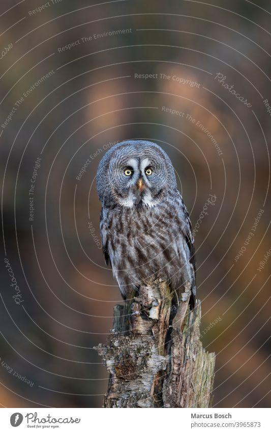 Bartkauz, Strix nebulosa, Steinkauz Eule Eulen Eulenvogel Greifvoegel Greifvogel Raubvoegel Strix-Nebulosa Vögel Tier Tiere Vogel eulenvoegel kaeuze