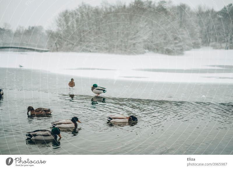 Enten auf einem See in einer schneebedeckten Landschaft im Winter Schnee Park kalt Wasser Eis Natur Bäume Winterlandschaft Schneelandschaft grau weiß