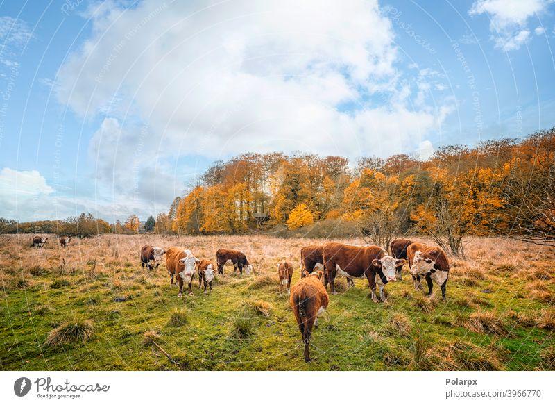 Hereford-Rinder auf einer Wiese im Herbst heimisch Wälder Baum Ranch farbenfroh Färse Wald Land Kühe Umwelt im Freien Landwirt Freilauf Ackerland Hintergrund