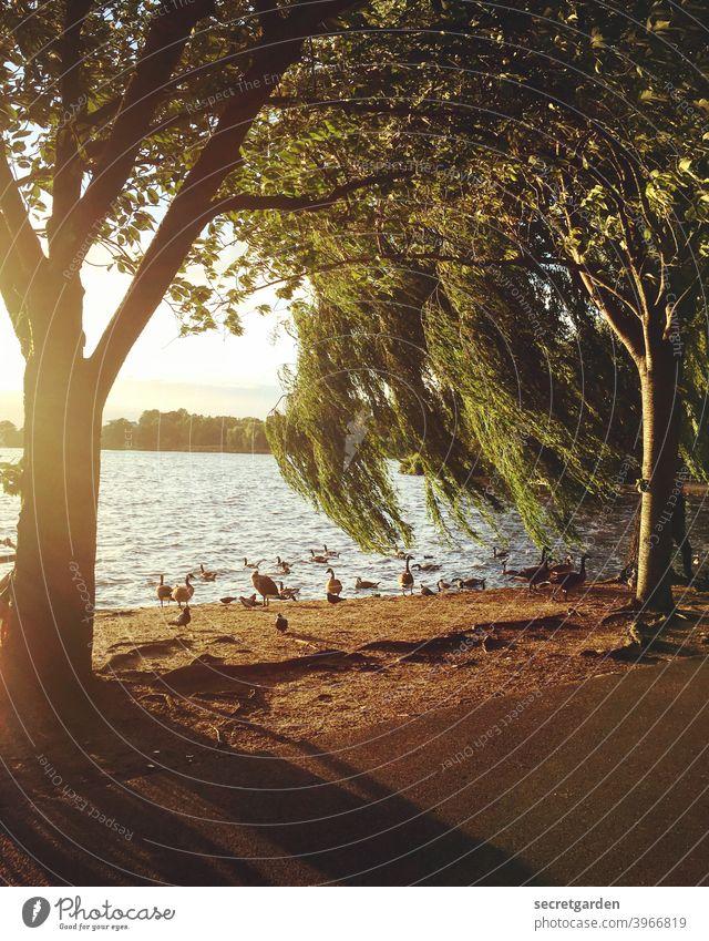 Wenn der Wind am Gründonnerstag durch die Trauerweide weht. Sommer sommerlich Sonnenuntergang Gans Außenaufnahme Farbfoto Natur Sonnenlicht Schönes Wetter