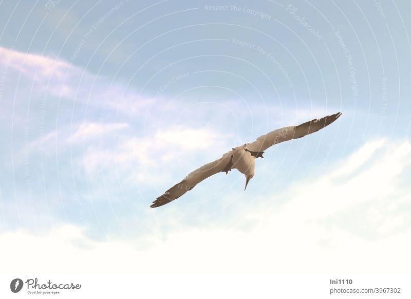 Basstölpel im Gleitflug Vogel Wildtier Spannweite spitzer Schnabel schwimmhäute Helgoland Freiheit schönes Wetter blauer Himmel fliegen beobachten Nordsee