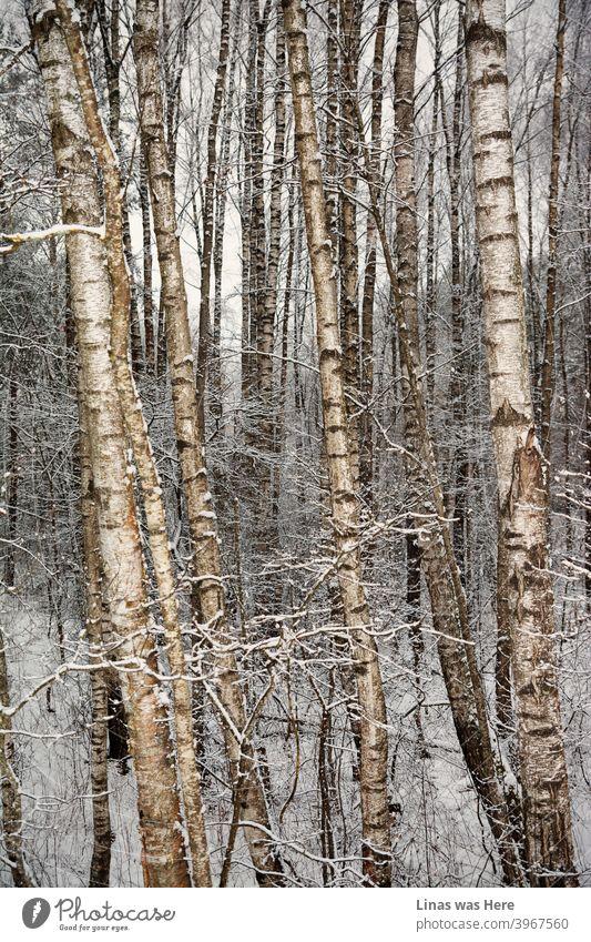 Es ist Winter und diese Birken haben mit Schnee und kalten Temperaturen zu kämpfen. Dennoch wird die zeitlose Natur definitiv mit den Schneestürmen des Winters fertig. Malerische Bäume und wilde Natur.