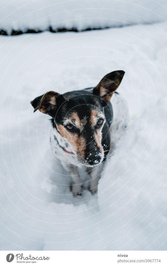 Jack Russel Terrier steht auf den Hinterbeinen Jack-Russell-Terrier jack russell männchen machen Hund Tier Haustier weiß 1 braun klein niedlich Reinrassig Blick