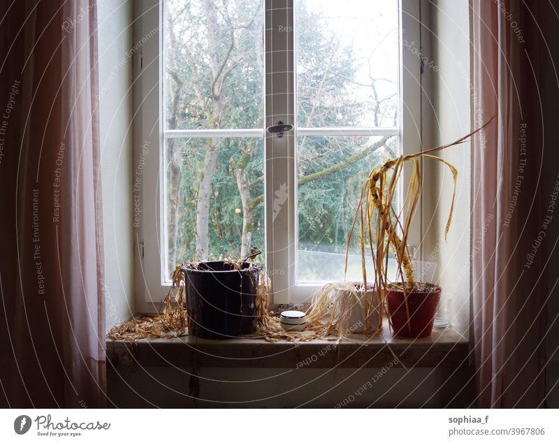 Wasser benötigt - tote, vertrocknete Pflanzen verdorren auf einem alten Fensterbrett in einem verlassenen Haus trocknen eingetrocknet vergessen verwelkt Sterben