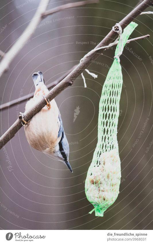 Kleiber am Meisenknödel Vogel fliegen Frühling Ast Tier Außenaufnahme Natur Feder Garten klein Nahaufnahme Winter Schnabel wild schön Tierwelt Singvogel