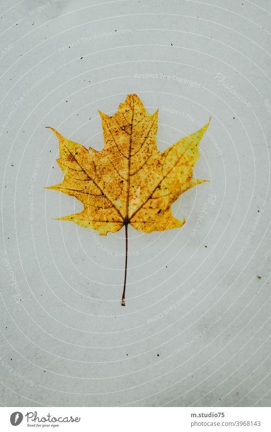 Kanadisches Ahornblatt #Winter #Blatt #Kanada #Schnee #Natur #outdoors #gelbesBlatt #kalt weiß kalte Jahreszeit