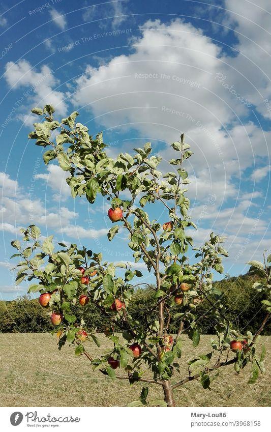 Apfelbaum vor blauem Himmel Äpfel Baum Pflanze Natur Öko Ökologisch Landwirtschaft Rot Grün Blau Wolken Sommer Schönes Wetter Landschaft Ausflug Freizeit Urlaub