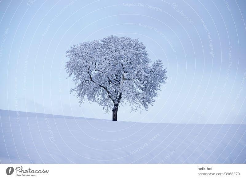 Einzelner, tief verschneiter Baum in der Abenddämmerung Natur Wald grün Landschaft kalt Schneelandschaft Frost Außenaufnahme Eis Schneedecke Winterstimmung