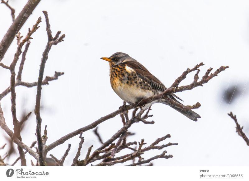 Wacholderdrossel auf einem Ast im Winter mit leichtem Schneefall Tier Schönheit in der Natur Vogel kalt Textfreiraum Federn Fliege leichter Schneefall niemand