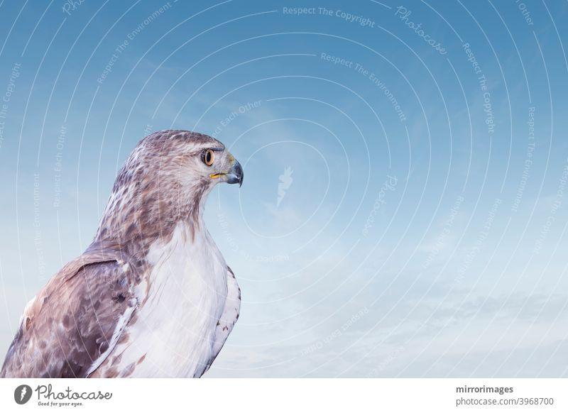 Wilder Raubvogel Rotschwanz Habicht Blick in den blauen Himmel stark Wildtierfotografie Nordamerika Rotschwanzbussard Tier Tiere Vogel Schnabel schön Schönheit