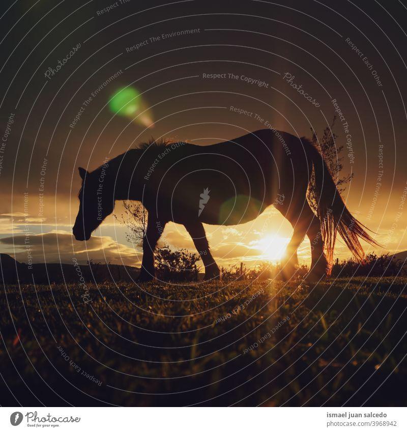 Pferd und Sonnenuntergang auf der Wiese Silhouette Sonnenlicht Tier Tiermotive wild Natur niedlich Schönheit elegant wildes Leben Tierwelt ländlich