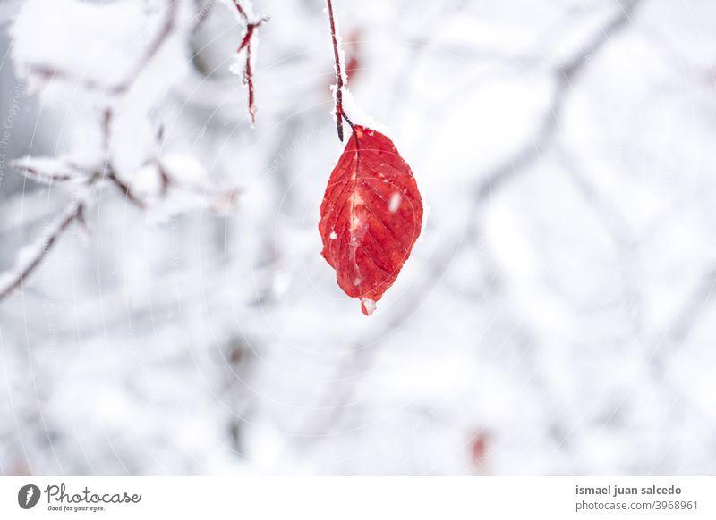 Schnee auf dem roten Blatt in der Wintersaison, verschneite Tage Niederlassungen Blätter Natur natürlich texturiert Zerbrechlichkeit Frost gefroren frostig weiß