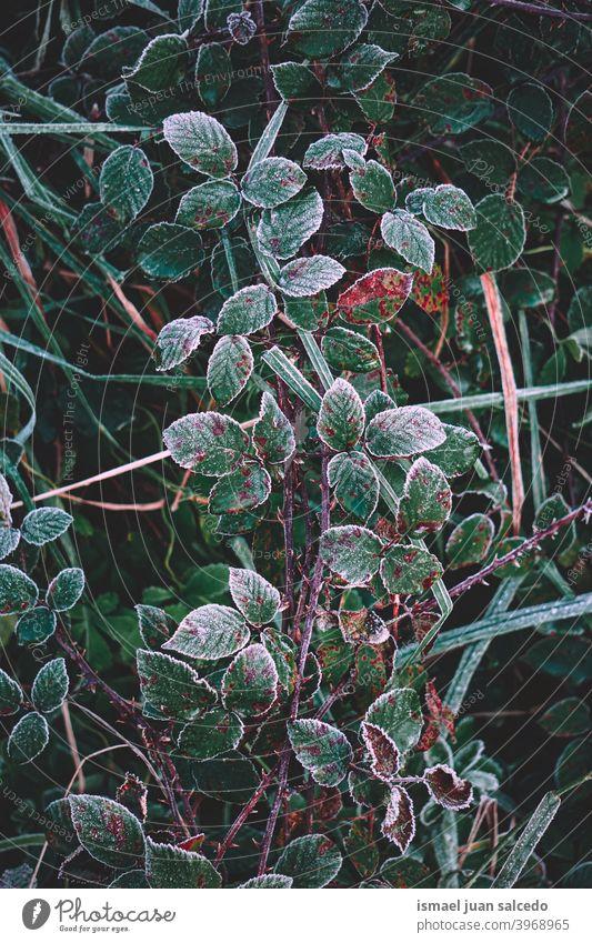 gefrorene grüne Pflanzenblätter in der Wintersaison, kalte Tage Gras Blatt Blätter Frost frostig Eis Natur natürlich Laubwerk texturiert Frische im Freien