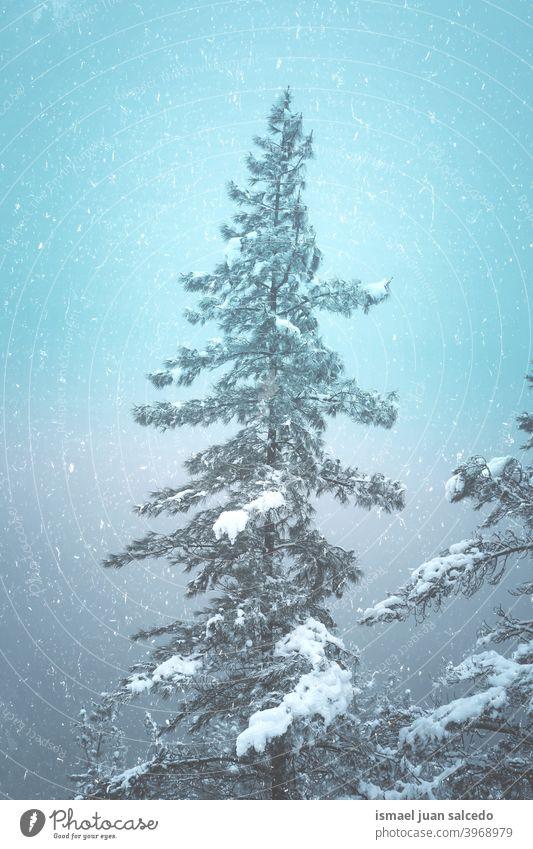 Schnee auf dem Tannenbaum in der Wintersaison, verschneite Tage Bäume Kiefer Schneefall Winterzeit kalt kalte Tage weiß Frost frostig gefroren Eis Schneeflocke