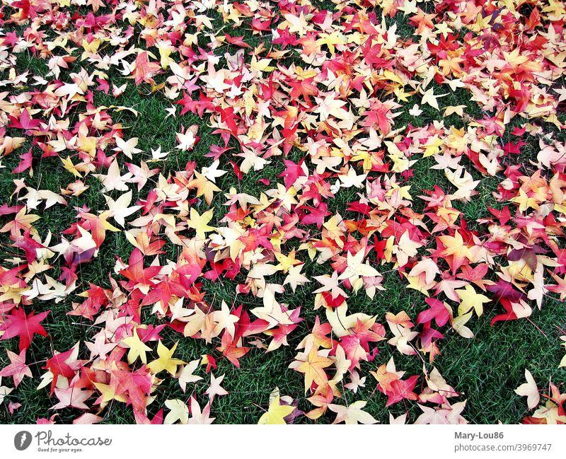 Rote sternförmige Herbstblätter auf grünem Rasen Herbstlaub Goldener Herbst Grün Laub Blätter Baum Bäume Blatt Farbe knallig bunt golden gelb Wiese Gründfläche