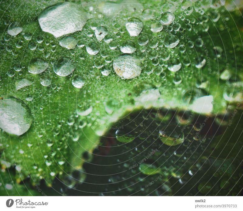 Bewässerung Blatt Wassertropfen Pflanze Regen glänzend Natur Umwelt leuchten nass nah klein viele grün Idylle fein Blattadern schön frisch Flüssigkeit rund