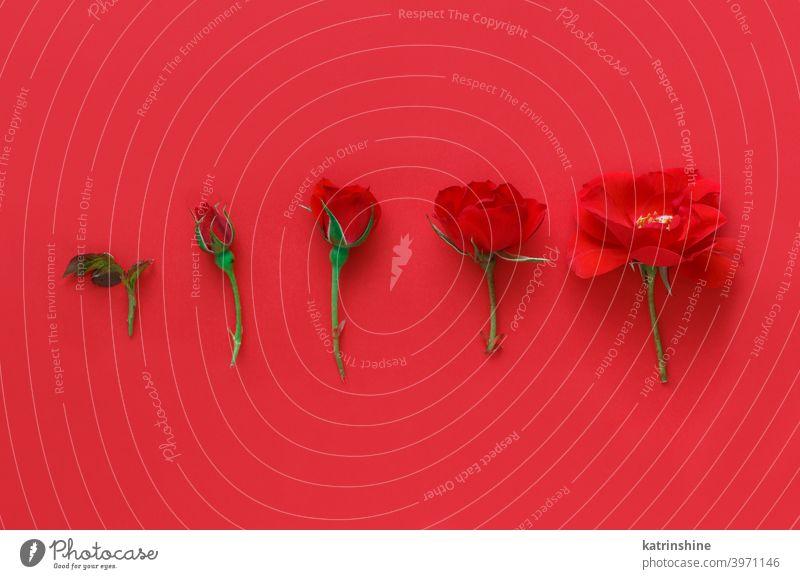 Fünf rote Rosen auf einem roten Hintergrund Blume romantisch 5 fünf Roséwein hell Monochrom sehr wenige Draufsicht Textfreiraum Konzept kreativ Tag Dekor