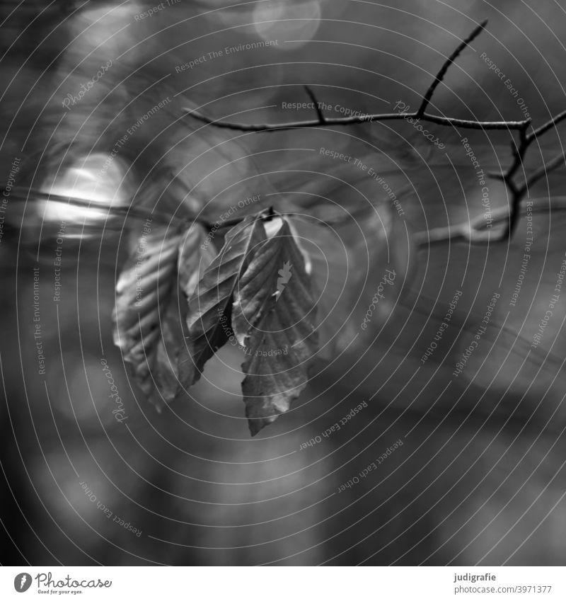 Buche im Herbst Laubbaum laub Blätter Buchenblatt trocken Herbstlaub herbstlich Zweig Zweige u. Äste Licht Lichtpunkt Schwarzweißfoto Natur Pflanze Baum Wald