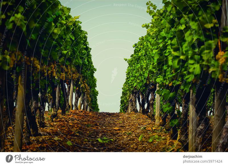 Der Weg zwischen den Weinstöcken  nach oben, zum Himmel. Rebstock Außenaufnahme Landschaft Farbfoto Natur Menschenleer Umwelt Weinberg Sommer Tag grün Pflanze