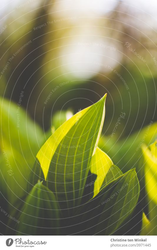 Die ersten grünen Triebe der Hosta / Funkie leuchten im Sonnenlicht. Frühling Frühjahr April Natur Naturerwachen Wachstum Pflanze Garten Außenaufnahme Bokeh
