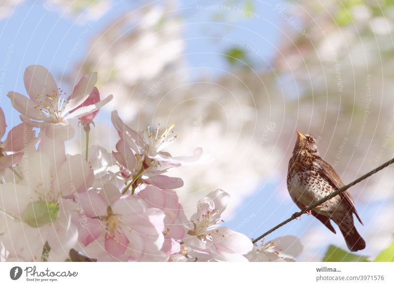 Wacholderdrossel im Blütenrausch Frühling Apfelblüte Blütenbaum Blühend Frühlingstag Drossel Vogel