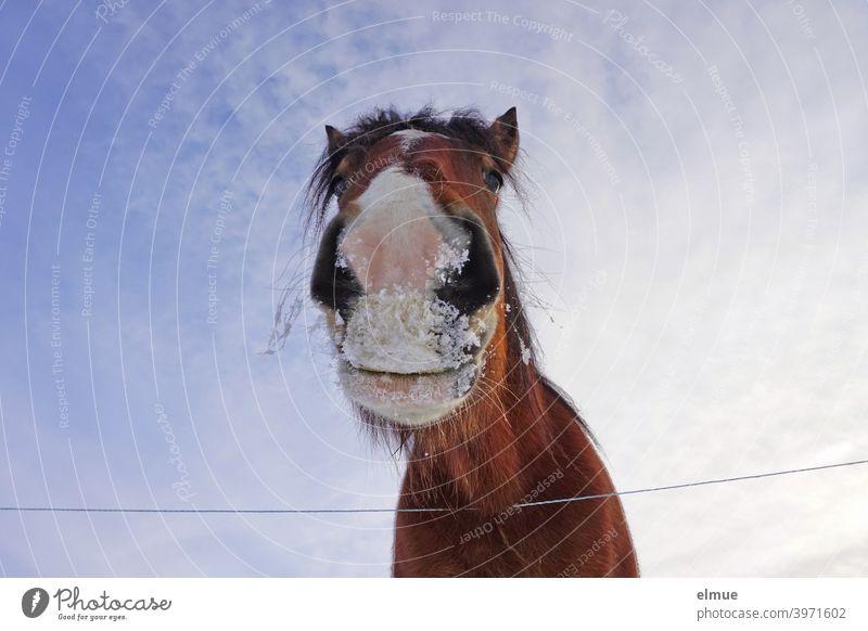 Portrait eines braunen Pferdes mit weißer Blesse und Schnee am Maul aus der Froschperspektive vor blauem Himmel Brauner Weidezaun Vierbeiner Kommunikation