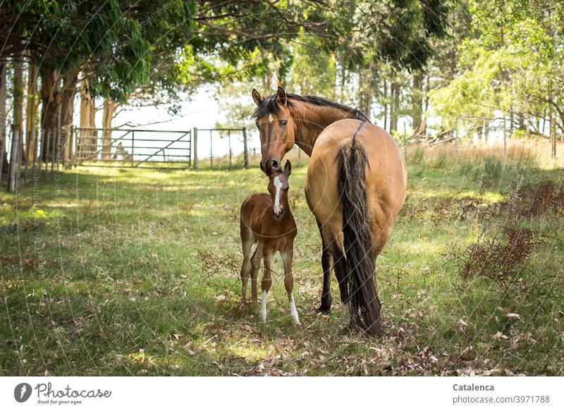 Pferdemutter und Tochter schauen in die Kamera an einem schönen Sommertag Natur Flora Fauna Landschaft Tiet Nutztier Stute Fohlen stehen Gras Wiese Bäume