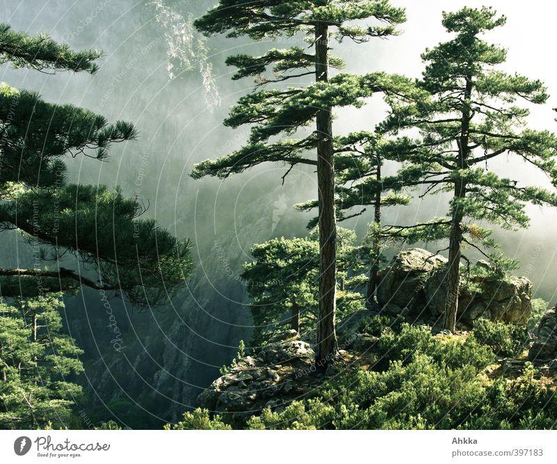 Tiefe, Kiefern am Rand einer Schlucht in Korsika Natur Ferien & Urlaub & Reisen Baum Landschaft ruhig Ferne Umwelt Berge u. Gebirge Leben Bewegung Freiheit