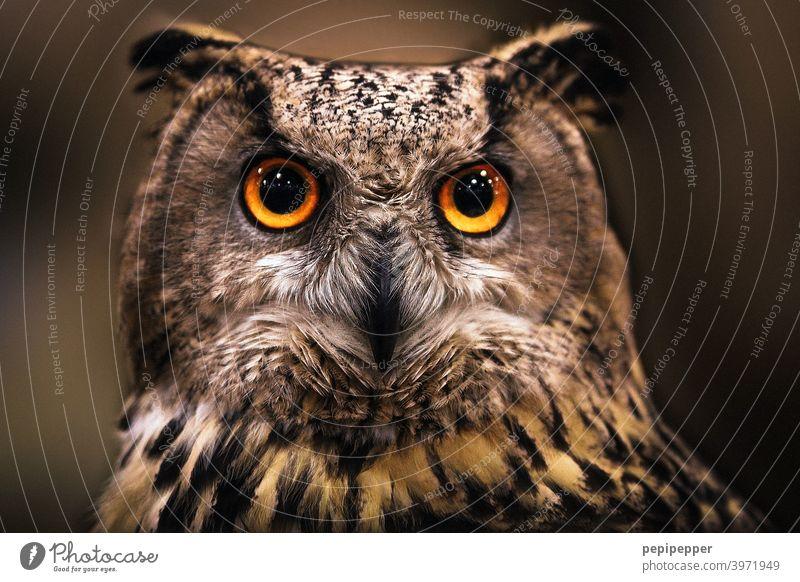 Uhu Eule Tiere Stufe Vögel Natur vogel Vogelwelt Lebewesen Tierportrait federn augen leuchtende Augen Klick Blick in die Kamera wild Tierwelt Wald braun