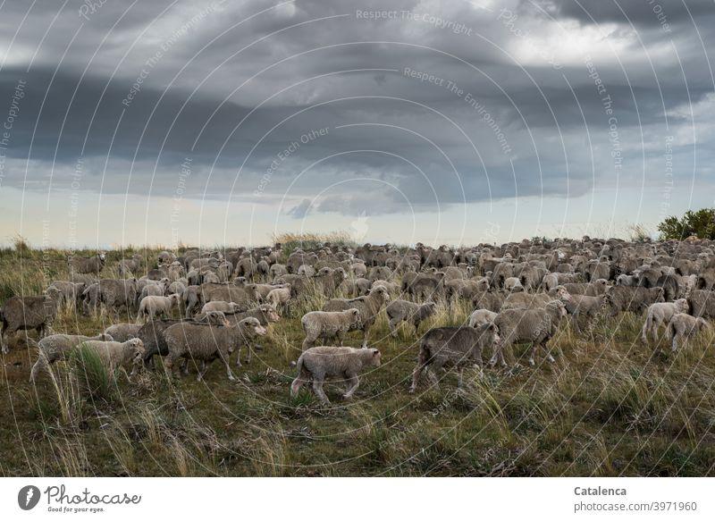 Schafherde läuft durchs hohe Gras  der Prärie, Wolken stehen am Himmel schlechtes Wetter Landwirtschaft Wolle Natur Landschaft Wiese Tiere Nutztiere Schafe