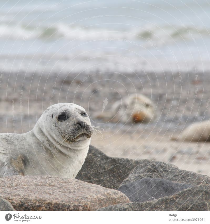 Seehund auf der Düne von Helgoland Robbe Tier Säugetier Wildtier Helgoländer Düne Strand Meer Nordsee Nordseeinsel Blick schauen niedlich Umwelt Natur Freiheit