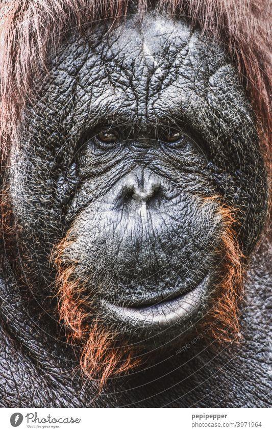 Orang-Utan Affen Tier Außenaufnahme Borneo Tierporträt Farbfoto Wildtier Urwald Asien Malaysia Ferien & Urlaub & Reisen Fell Tiergesicht tierportrait rote Haare