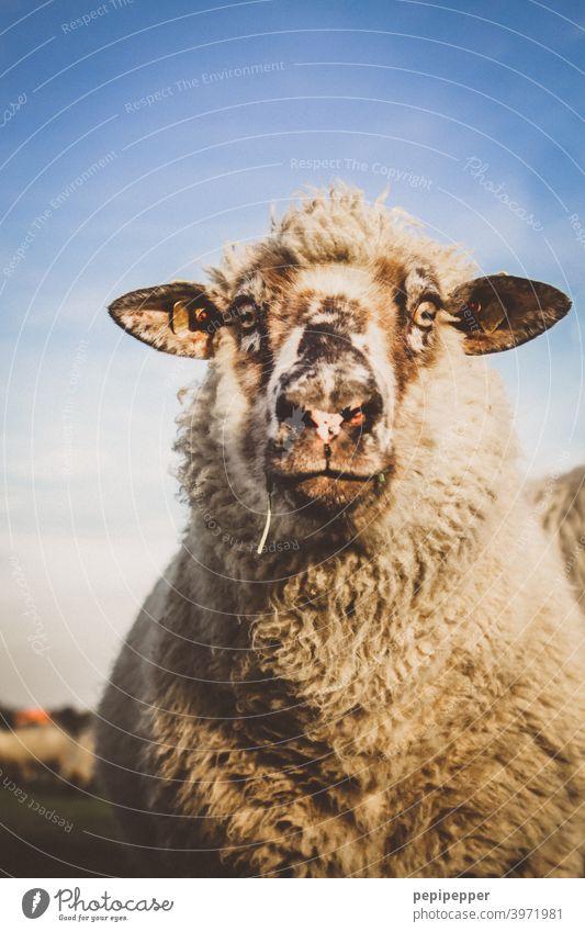 Schaf Tier Nutztier hausschaf Außenaufnahme Wolle Wiese Weide Tierporträt Gras Fell Menschenleer Schafherde Tiergruppe Herde Schafswolle Fressen Schafe Farbfoto