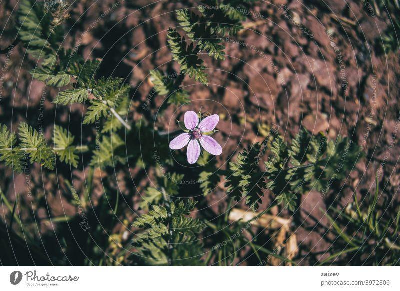 kleine lila erodium Blume auf dem Boden Erodium cicutarium horizontal Farbe Kopierbereich Vitalität Klebrig magenta violett lebhaft Wachstum Unkraut vereinzelt