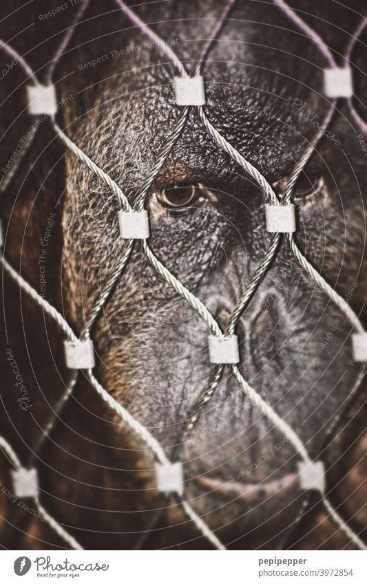 gefangen – ein Affe schaut sehr menschlich und traurig durch einen Stahlzaun Affen Gefangenschaft Gefangener Tier Zoo Säugetier Menschenaffen Tierporträt