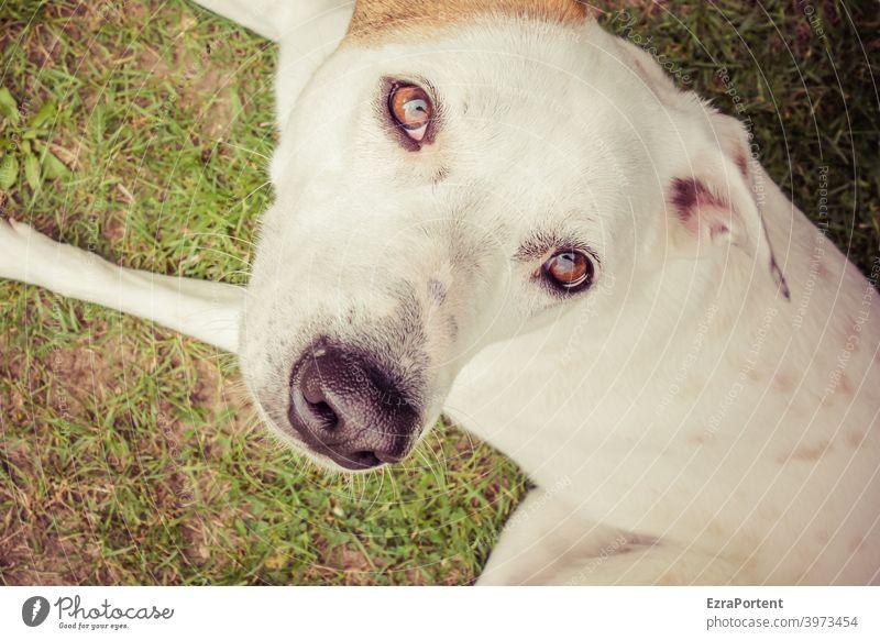 Hund Haustier Tier Tierporträt Blick Tiergesicht Blick in die Kamera Fell Nahaufnahme niedlich Auge Nase Ohr Schnauze weiß braun Spiegelung