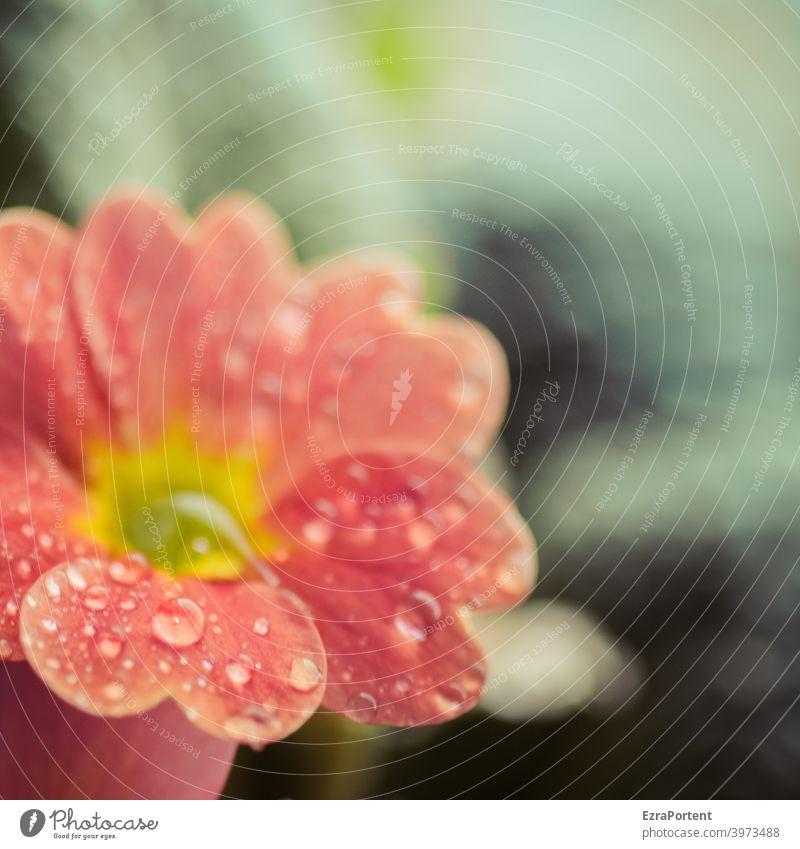 taufrisch Tau Primel Blume Frühling Frühlingsbote Frühlingsblume Wasser Wassertropfen Blüte Pflanze Nahaufnahme Natur rot Blütenblatt Blühend Frühlingsgefühle