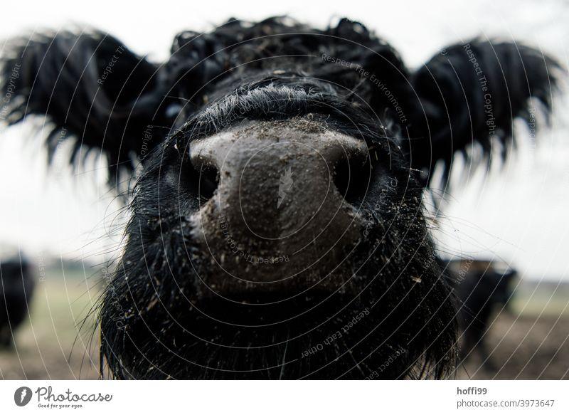 nah dran am Galloway Rind Nase Mund Schnauze Kuh Speichel dunkel Sabber Auge Fressen Erzeuger Bioprodukte Gras Säugetier Milch biologisch Kuhherde Wiederkäuer