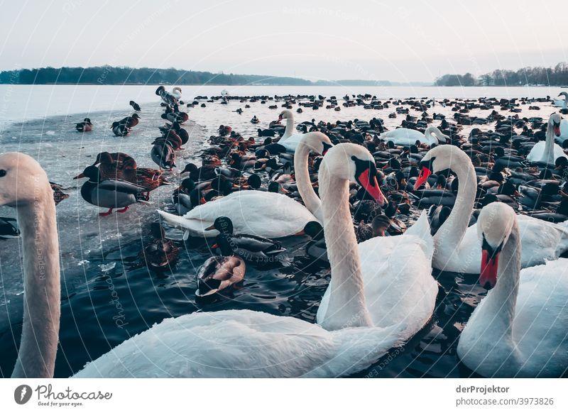 Schwäne und Enten im winterlichen See in Neuruppin II Brandenburg Natur Umwelt Naturerlebnis Außenaufnahme Spaziergang Textfreiraum rechts Textfreiraum unten