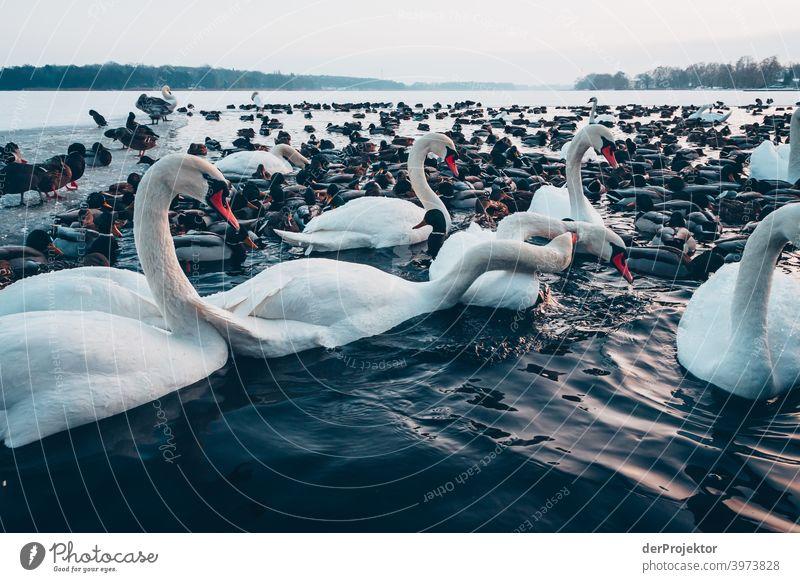 Schwäne und Enten im winterlichen See in Neuruppin Brandenburg Natur Umwelt Naturerlebnis Außenaufnahme Spaziergang Textfreiraum rechts Textfreiraum unten