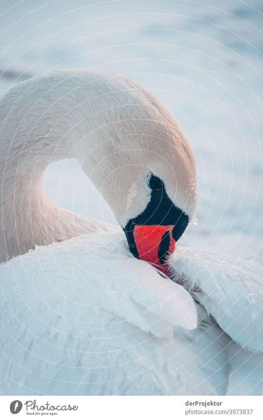 Schwan im winterlichen See in Neuruppin Brandenburg Natur Umwelt Naturerlebnis Außenaufnahme Spaziergang Textfreiraum rechts Textfreiraum unten