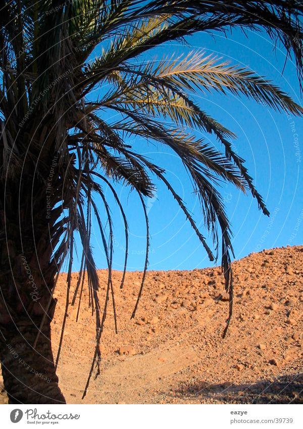 Palme Pflanze Ferien & Urlaub & Reisen Berge u. Gebirge Wüste Ägypten