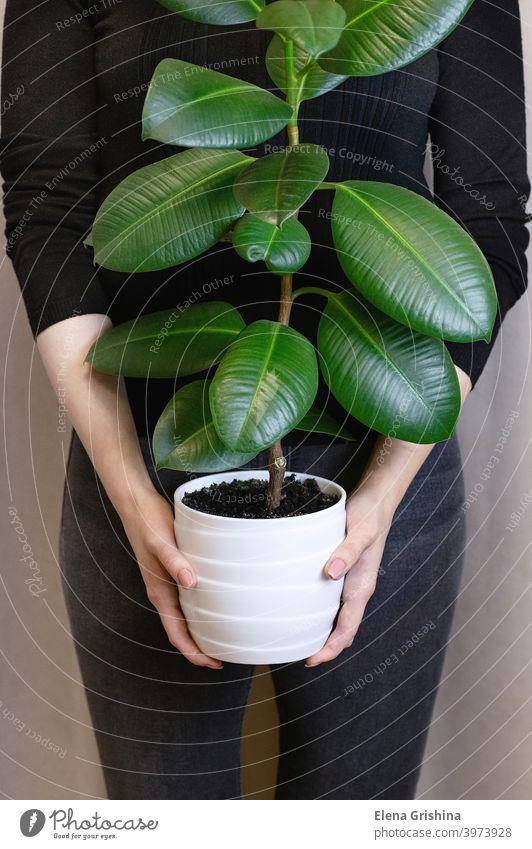 Das Mädchen hält in ihren Händen einen weißen Topf mit einer Ficus-Blume. Dekorative Pflanze für Zuhause. Ficus elastica Pflanze, Gummibaum. Ficus-Baum