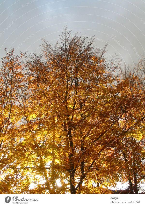 Herbstsonne Himmel Baum Blatt Beleuchtung Abendsonne