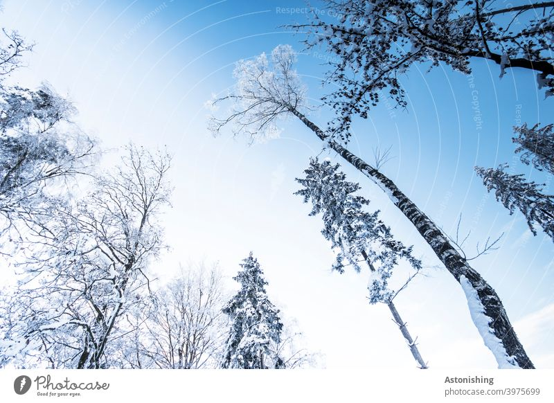 Bäume im Winter Wald Schnee oben Baumkrone Baumstamm Rinde hinauf weiß Himmel Landschaft Natur Umwelt Winterwald Wetter Zweige Äste hoch groß blau Schneefall