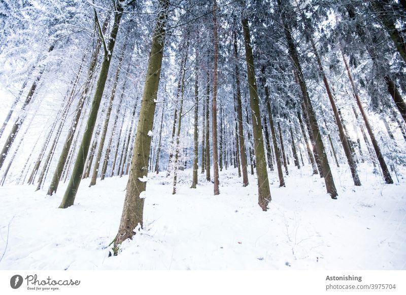Winter-Nadelwald Wald Winterwald Schnee Baumstämme Weitwinkel Rinde Linien Winterlandschaft Nadelbaum Bäume weiß braun viele dünn Natur Landschaft Umwelt kalt