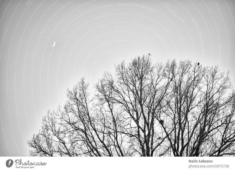 Krähen und Elster auf der Spitze sitzen auf großen Eiche `s Zweige. Vögel sitzen auf einem blattlosen Zweig gegen den abendlichen blauen Himmel mit dem Mond. Silhouette von trockenen Baumzweigen mit Vögeln und dem Mond. Wintersaison, Nachtlandschaft, Tapete, Kopierraum