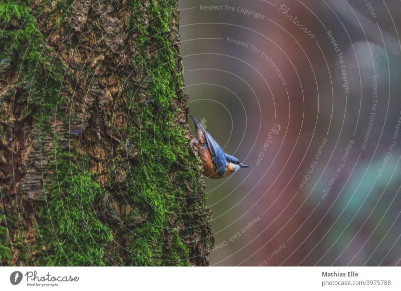 Kleiber Vogel am Baum Tier Außenaufnahme Schnabel Tiergesicht schwarz Menschenleer natürlich gelb weiß Blick nach vorn 1 Sitta europaea balancieren klettern